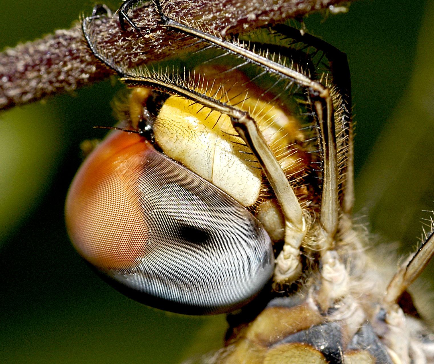 Eye of the Dragon fly